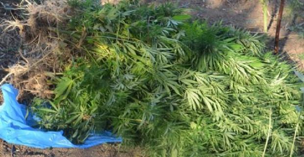 Evinin bahçesinde Hint keneviri yetiştirmiş