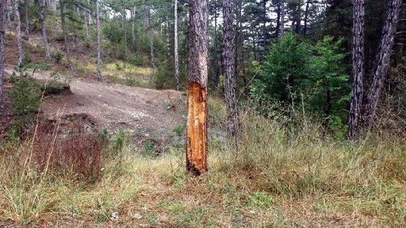 Çıra için zarar verilen ağaca tedavi