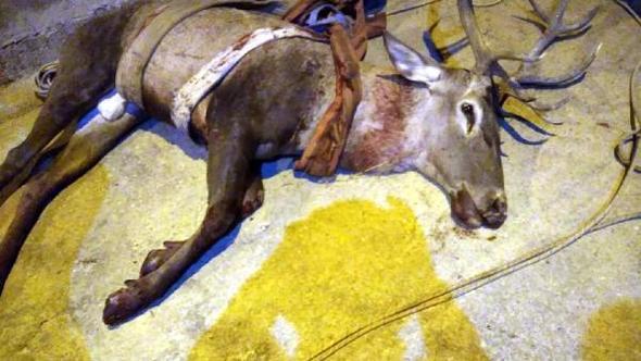 Havuza düşen kızıl geyik vinçle çıkarıldı